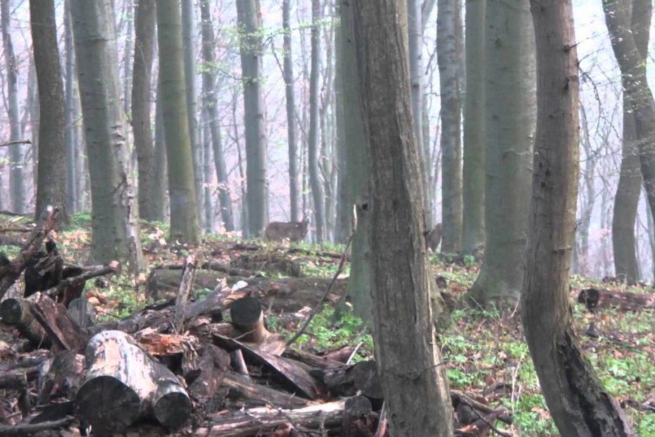 Muflonok a Börzsönyben 2012-04.07.
