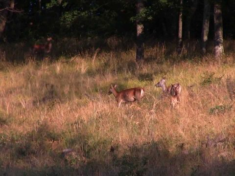 Red deers in the Börzsöny mountains (Hungary)